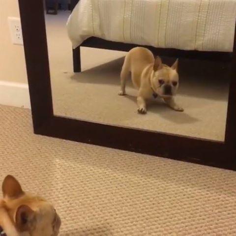 Cum reactioneaza un caine cand se vede in oglinda
