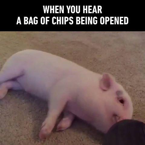 Porcul care face drifturi